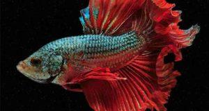 Lichtfischer